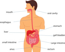 Diagram Of The Body Clip Art