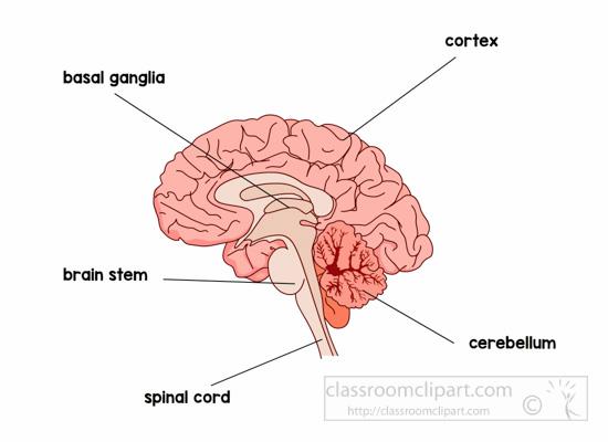 anatomy-brain-labeled-clipart.jpg