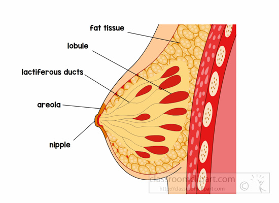 anatomy-female-breast-labeled-clipart.jpg