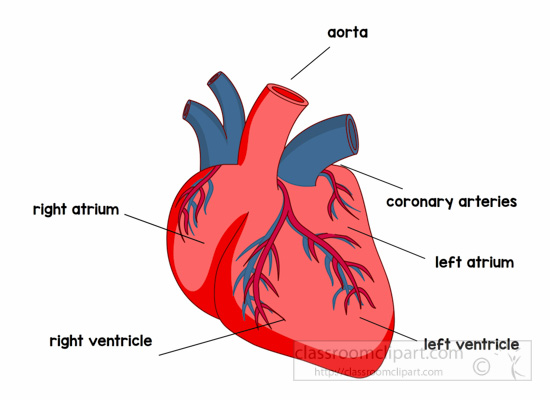 anatomy-heart-labeled-clipart.jpg