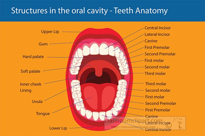 anatomy-of-teeth-oral-cavity-labeled-clipart.jpg