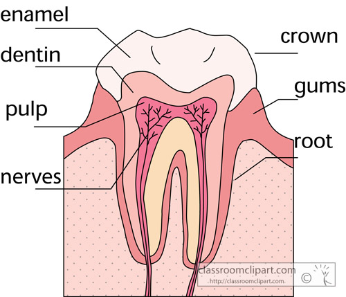 anatomy_of_a_tooth_2.jpg