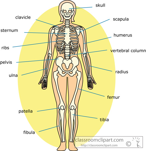 bone_strurcture_of_the_human_body_front_12.jpg