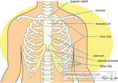 bone_strurcture_of_the_rib_cage_clipart_14.jpg