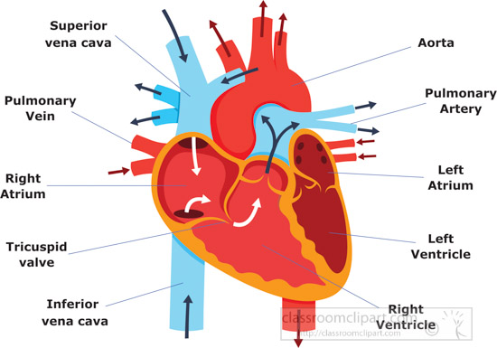 color-heart-diagram-parts-labeledanatomy-clipart.jpg