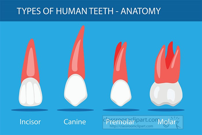 different-types-of-teeth-human-anatomy-clipart.jpg