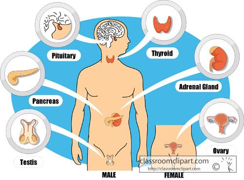 endocrine_system_diagram-clipart-crca.jpg