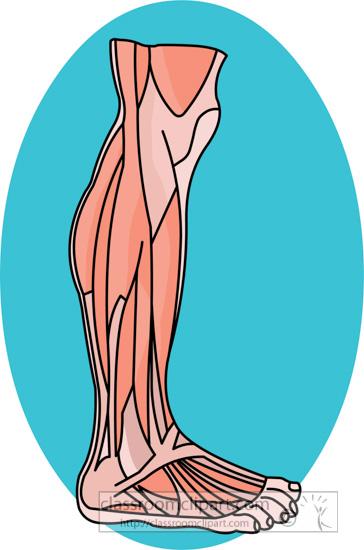 human-anatomy-muscles-leg-foot-clipart-217.jpg