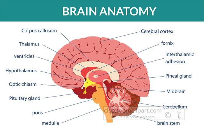 human-brain-anatomy-labeled-clipart.jpg