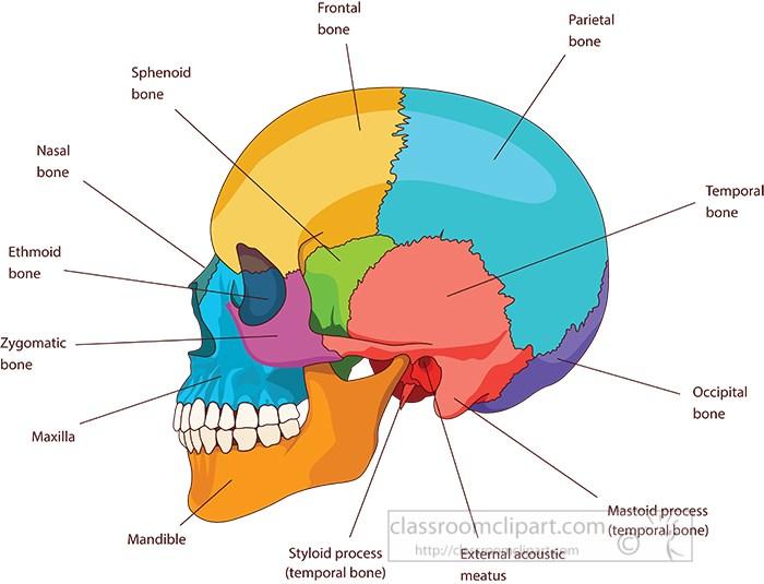 human-skull-bones-skeleton-labeled-anatomy-clipart.jpg