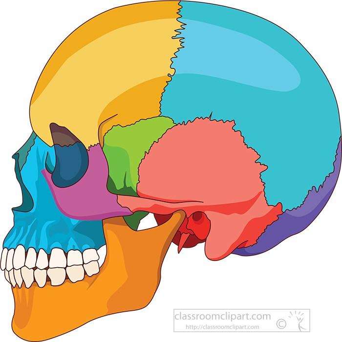 human-skull-side-view-anatomy-clipart.jpg