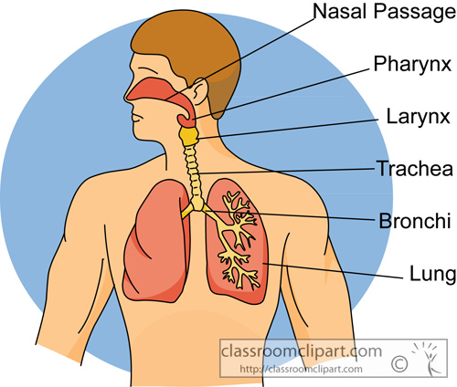 human_respiratory_system_2613.jpg