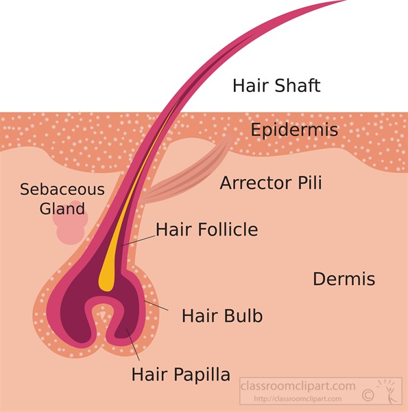 labeled-cross-section-of-hair-follicle-clipart-illustration.jpg