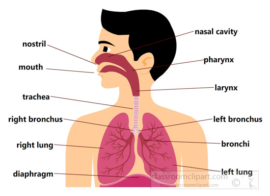 labeled-respiratory-system-chart-clipart-7116.jpg
