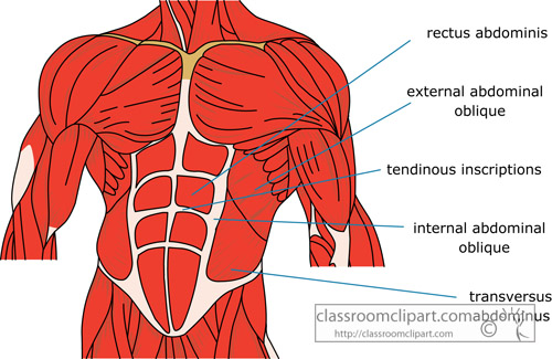 muscle_strurcture_of_the_human_abdomin.jpg
