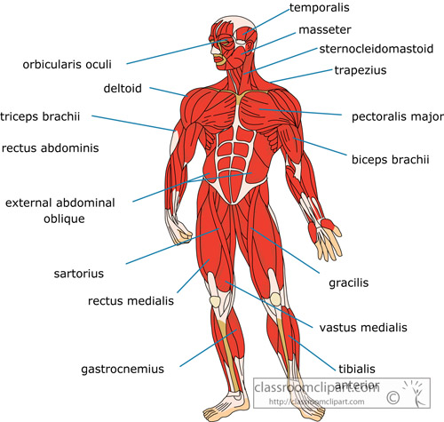 muscle_strurcture_of_the_human_body_front.jpg