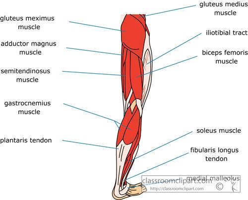 muscle_strurcture_of_the_human_leg.jpg