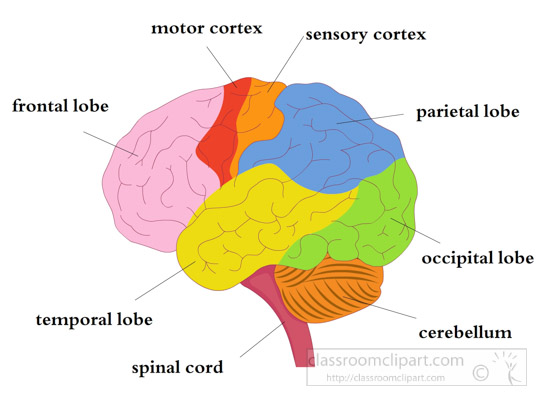 parts-of-the-brain-illustrated-clipart-7117.jpg