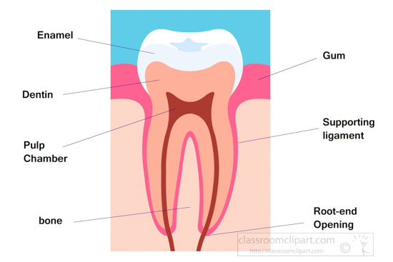 tooth-side-view-human-anatomy-clipart.jpg