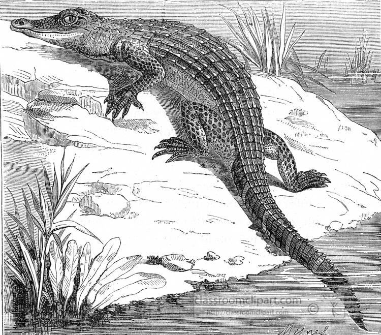 alligator-illustration-aa443.jpg