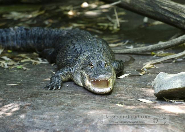 alligator_mouth_open_0664.jpg