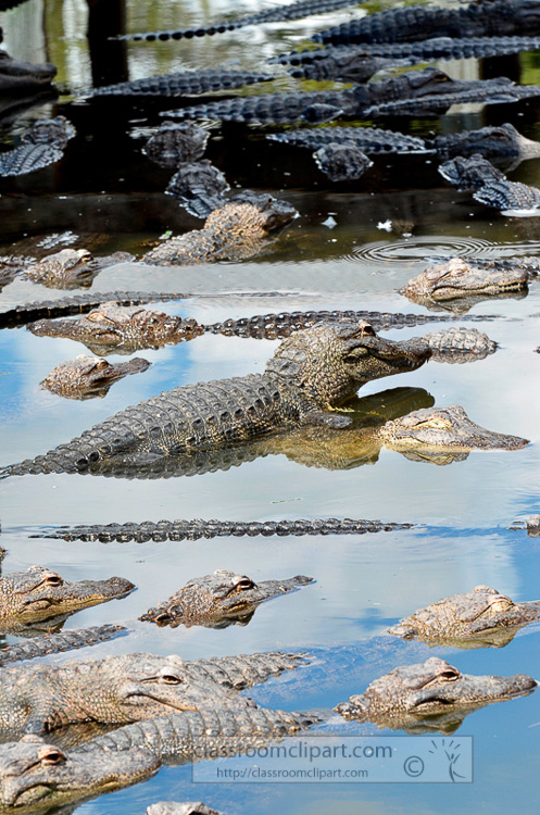 alligator_photo_1976a.jpg