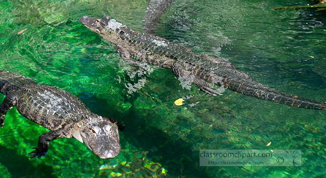 alligator_tzo_272.jpg