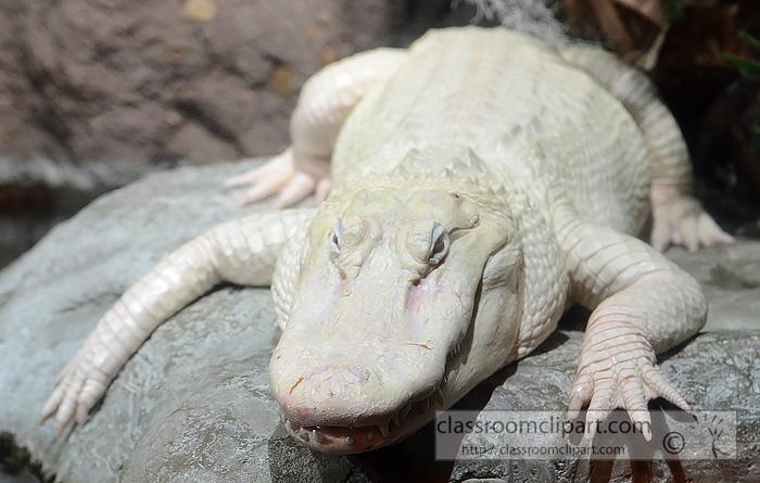 american_alligator_2907.jpg