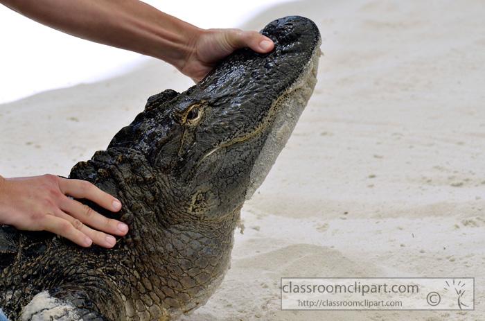 florida_alligator_719a.jpg