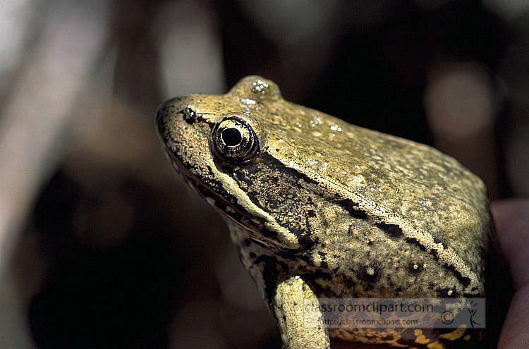 Red-legged_frog.jpg