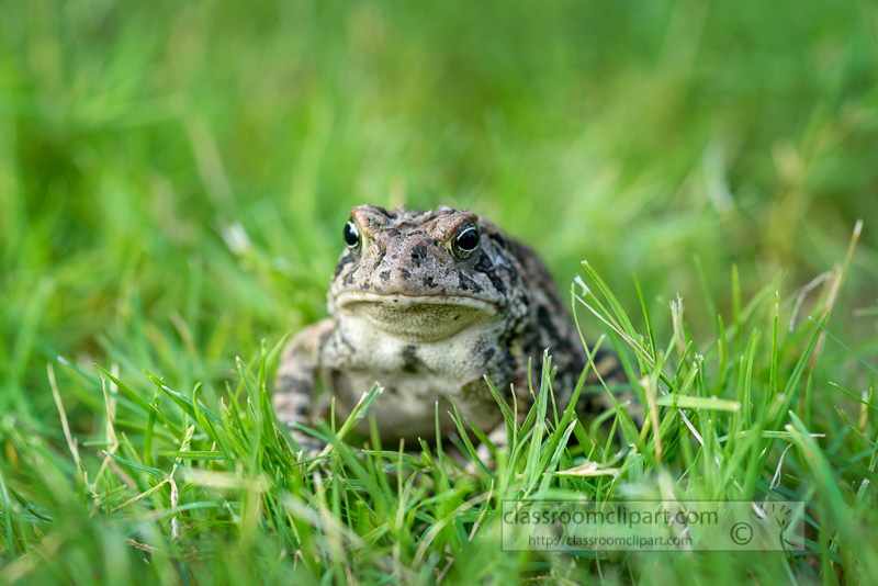 Woodhouse-Toad-front-View-in-grass-Tennessee-photo-621E.jpg