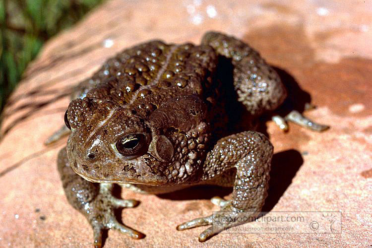 Woodhouse_Toad2.jpg