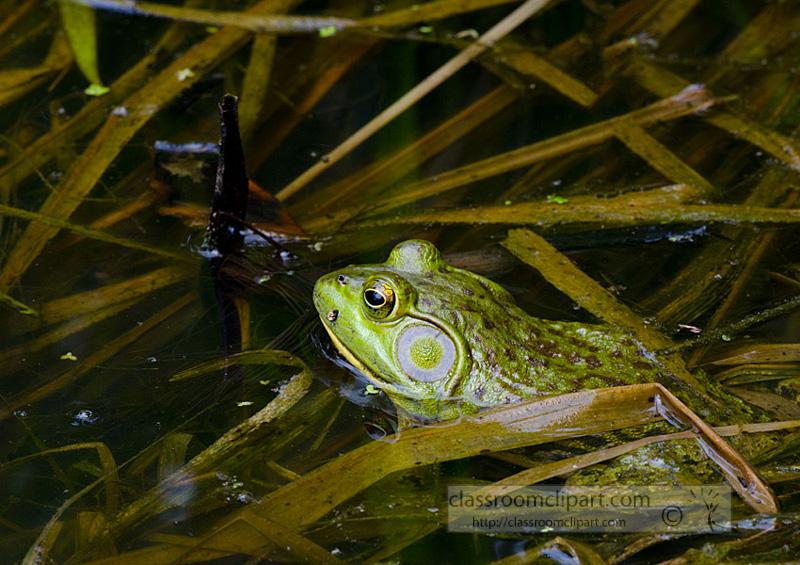 frog_in_water_283.jpg