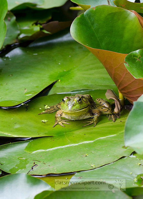 frog_lilly_pad_87A.jpg