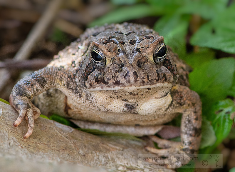 photo-closeup-a-toad-front-view-5600.jpg