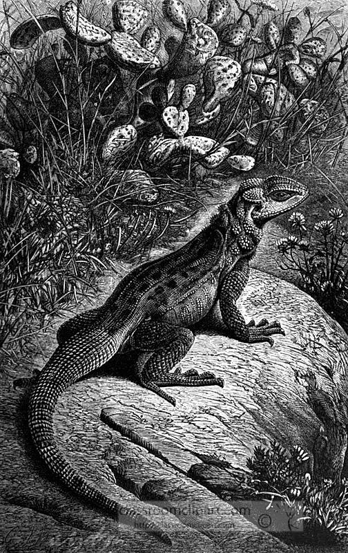 rough-tailed-agama-basking.jpg