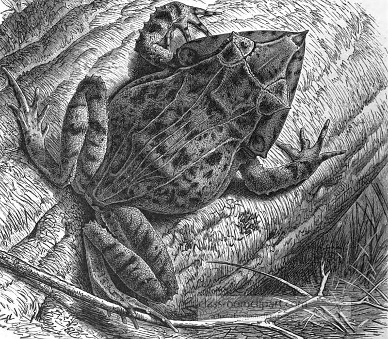 solomon-island-frog.jpg