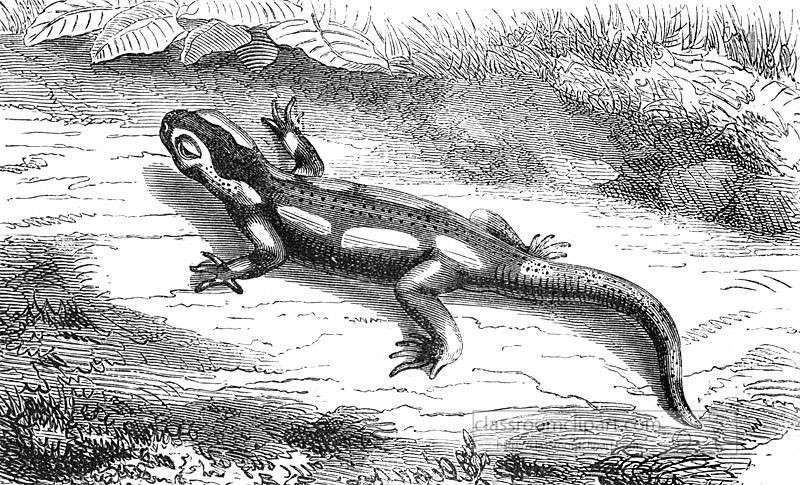 396_salamander.jpg