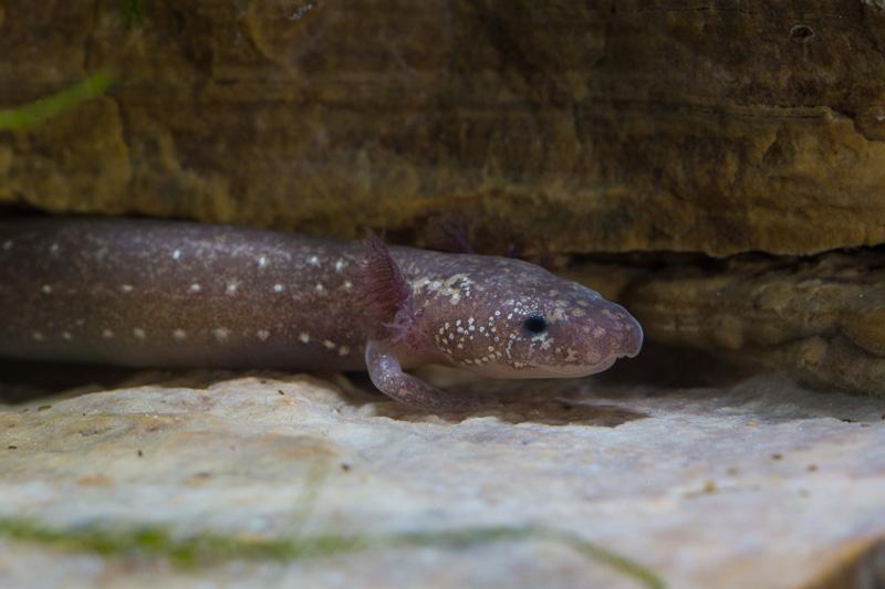 barton-springs-salamander-side-view.jpg