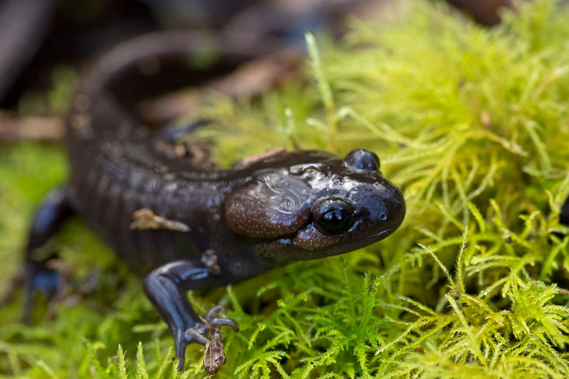 northwestern-salamander-on-moss.jpg