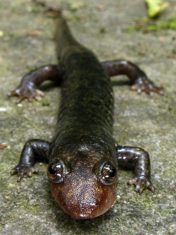 photo-of-a-black-bellied-salamander.jpg