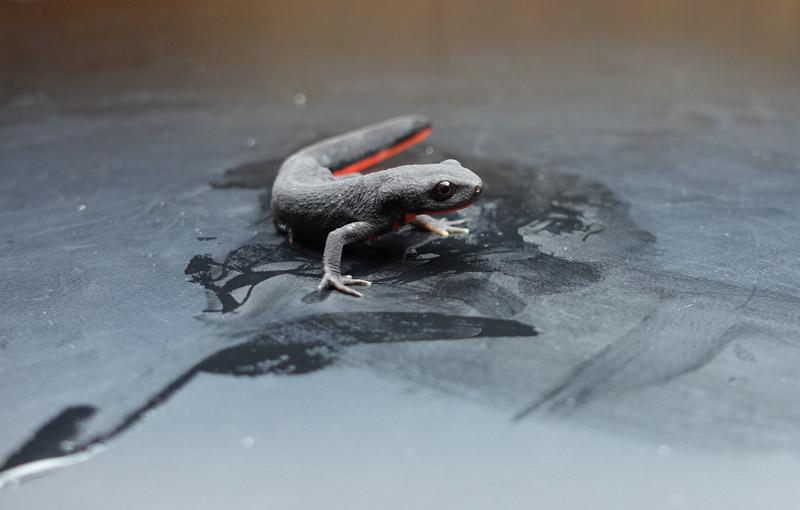 photo-of-chinese-firebelly-newt-amphibian.jpg