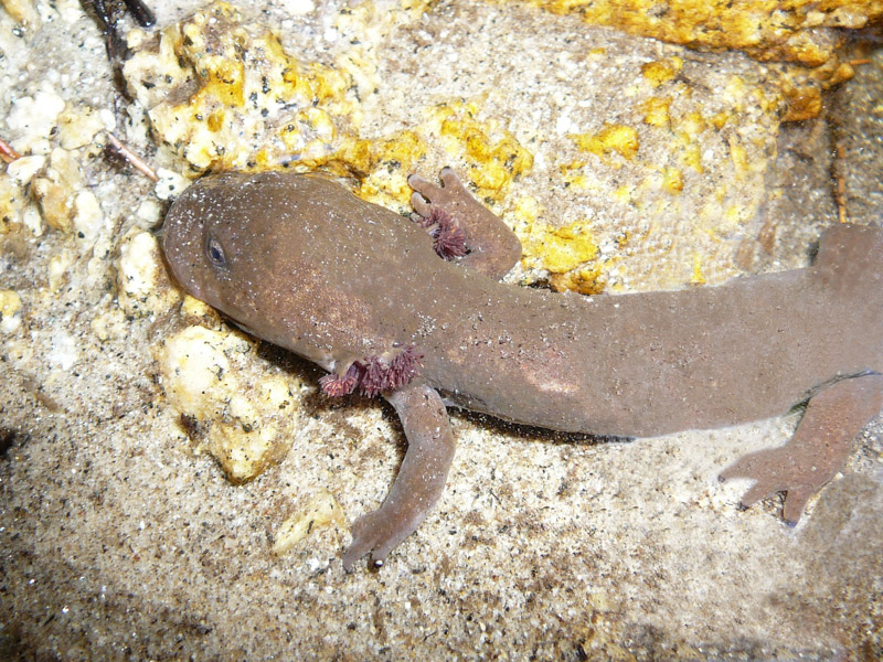 photo-top-view-idaho-giant-salamander.jpg