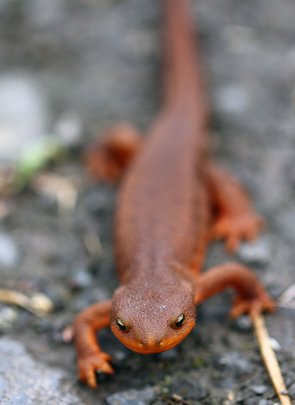 rough-rkinned-newt-on-rocks.jpg