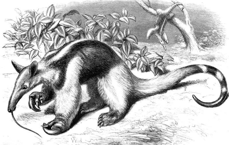 anteater-illustration.jpg