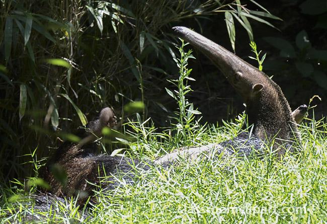 anteater_0915A.jpg