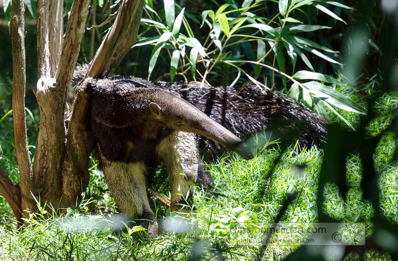 anteater_near_tree_0803A.jpg