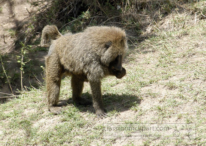 3_baboon_africa_masai_photo_066.jpg