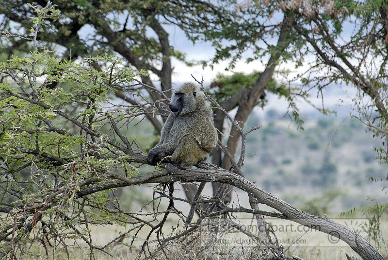 5_baboon_africa_masai_photo_15.jpg