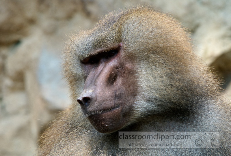 baboons_close_up_photo_7863.jpg